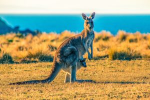 Mother Kangaroo with Pouch